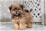 Picture of Belle – Female TEACUP Shih Pom