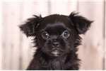 Picture of Biggy - Male Shih-tzu/Pekingnese cross