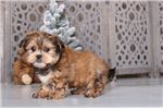 Picture of Ben – Male Shorkie