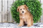 Picture of Taylor - Female Yorkie Poo