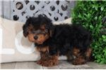 Picture of Storm – Male Yorkie Poo