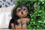 Picture of Moxie – Female Yorkie Poo