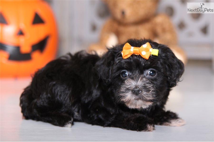 Aurora Yorkiepoo Yorkie Poo Puppy For Sale Near Columbus Ohio