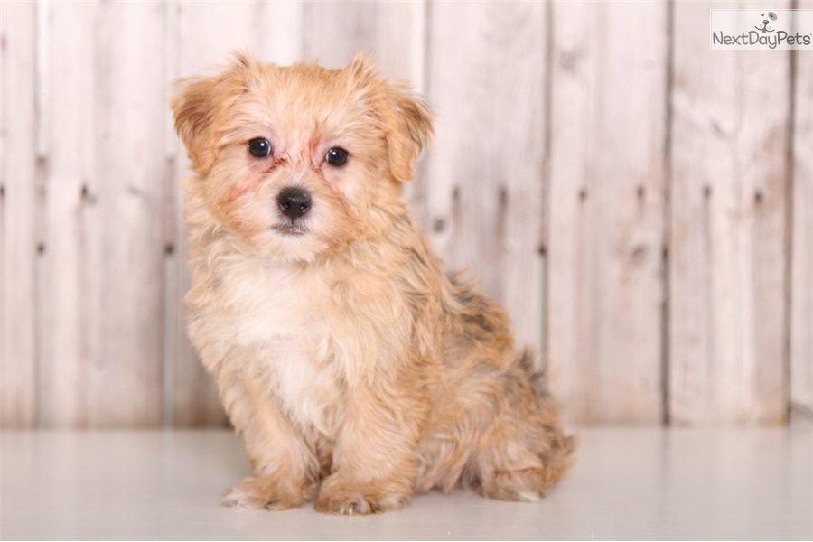 Winnie Yorkiepoo Yorkie Poo Puppy For Sale Near Columbus Ohio