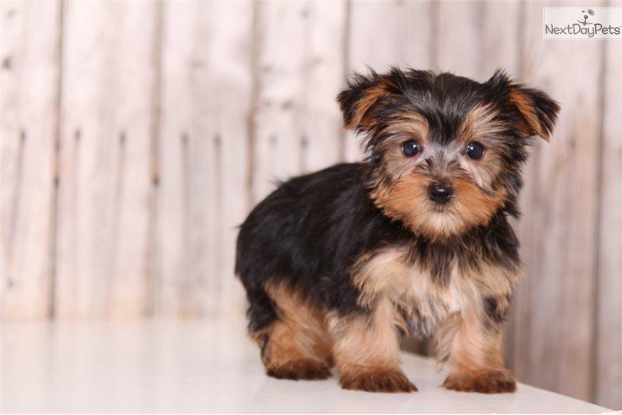 Dogs For Sale Columbus Ohio