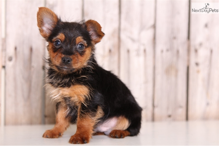 Vincent Yorkshire Terrier Yorkie Puppy For Sale Near Columbus
