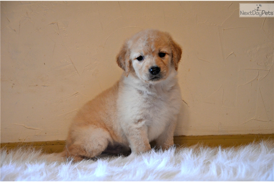 Gomer Golden Retriever Puppy For Sale Near Worcester Central Ma