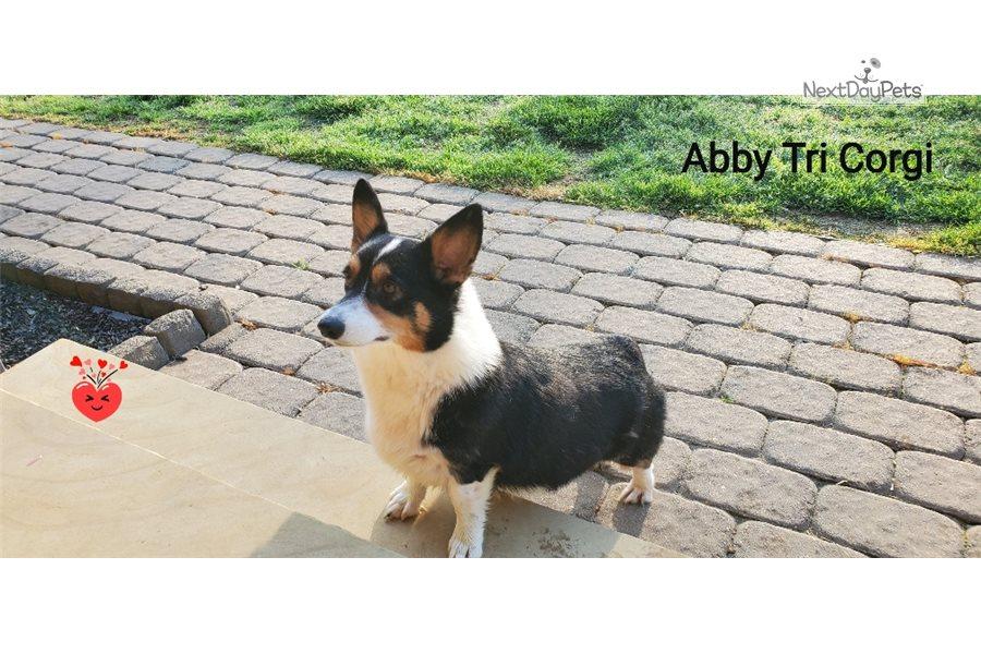 Corgi Abby Litte Corgi Puppy For Sale Near Greensboro North Carolina 165f1c1d A111