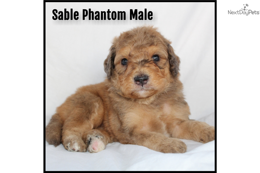 Sable Phantom Male Mixedother Puppy For Sale Near Chicago