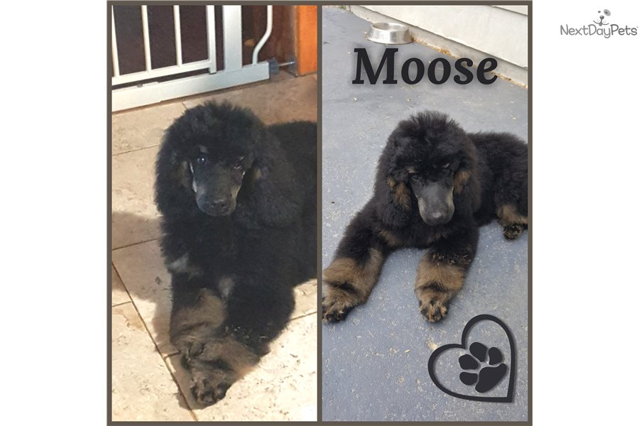 Moose: Poodle, Miniature puppy for sale near Chicago