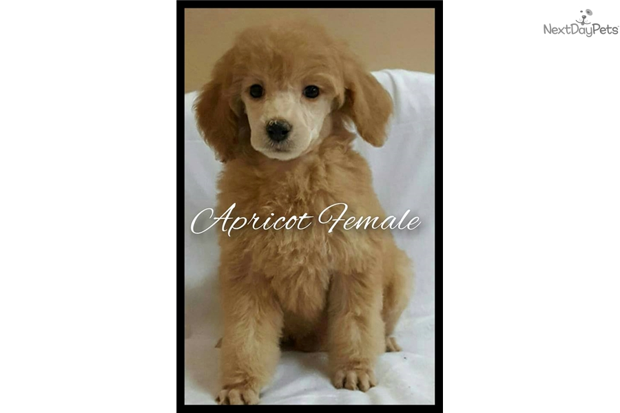 Apricot Female Poodle Standard Puppy For Sale Near Chicago
