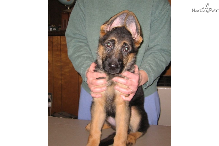bay area german shepherd akc female puppy black red female german shepherd puppy 2311