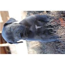 View full profile for Blue Skies Great Danes