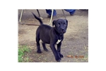 Picture of Adopted! Patterdale/Pitbull Adopted!