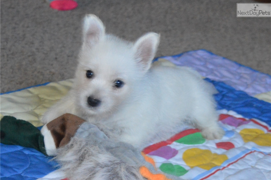 west highland terrier for sale near me west highland white terrier westie puppy for sale near 6306