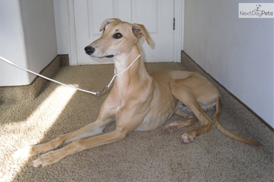 Adopt Cody A Greyhound Puppy For 200 Cody