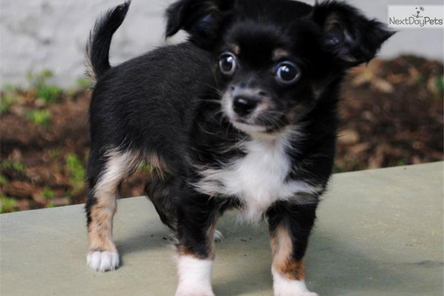 chihuahua for sale in va chihuahua puppy for sale near richmond virginia 4876