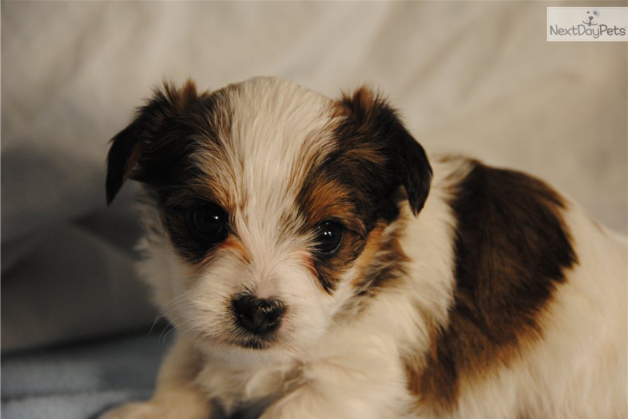 yorkie puppies for sale in richmond va yorkshire terrier yorkie for sale for 1 000 near 9010