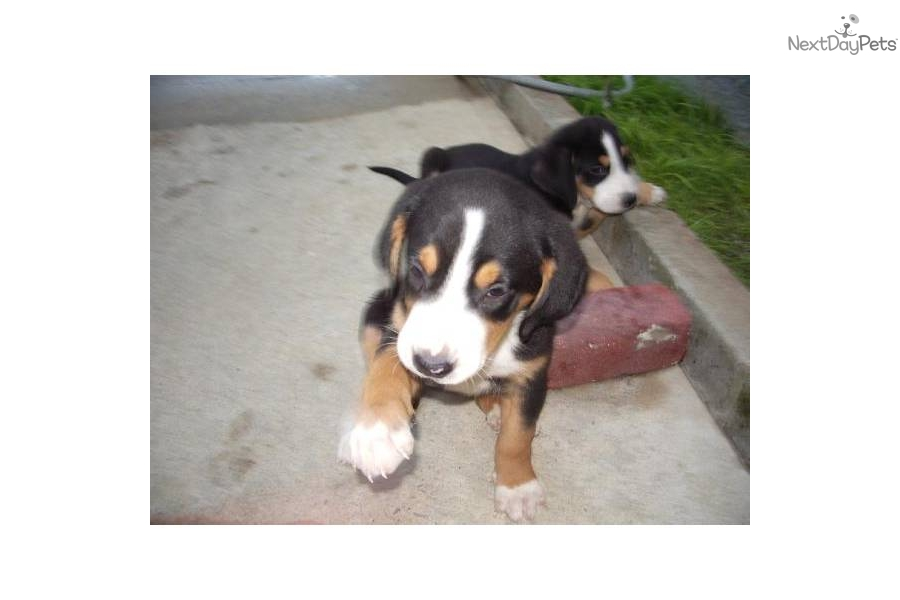 Greater Swiss Mountain Dog for sale for $1,250, near New ...