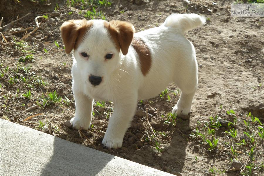 Puppies for Sale from West Valley Russells - Member since