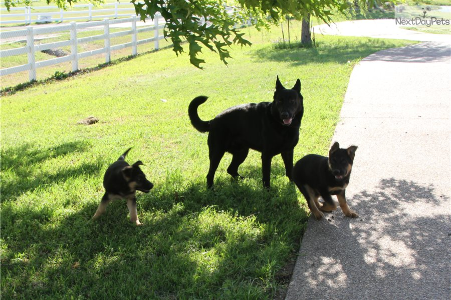Trained Dogs For Sale Fort Worth