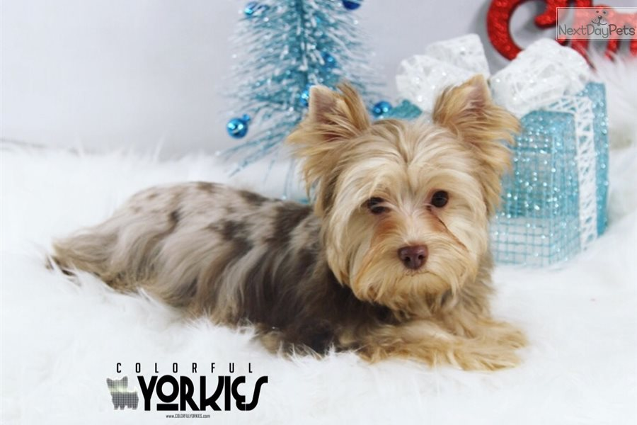 Chocolate Merle: Yorkshire Terrier - Yorkie puppy for sale
