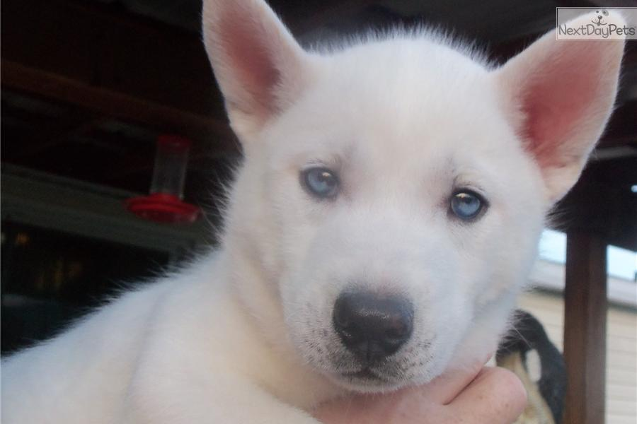 white husky dog for - photo #4