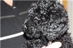 Picture of Kipper - Rare Barbet French Waterdog