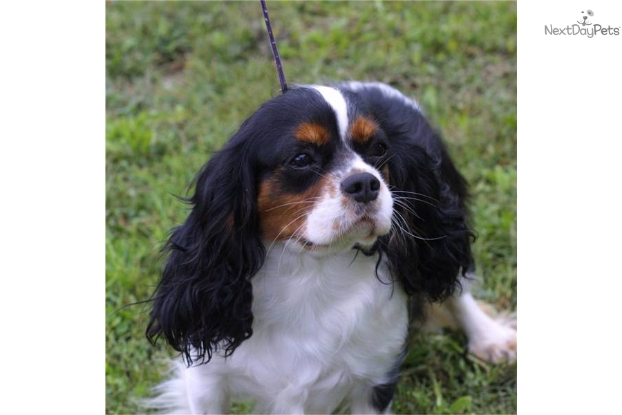 Remarkable, Adult cavalier king charles spaniels for sale can recommend