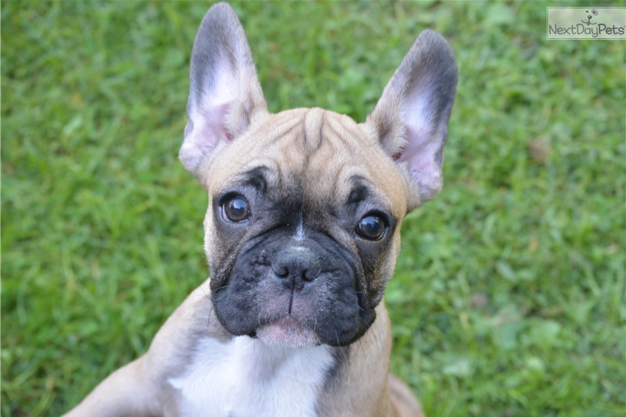 french bulldog rochester ny sweetie pie french bulldog puppy for sale near rochester 4701
