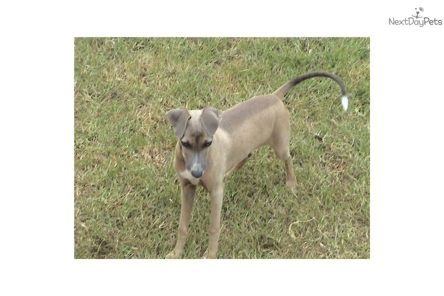 Meet Ferrah a cute Italian Greyhound puppy for sale for