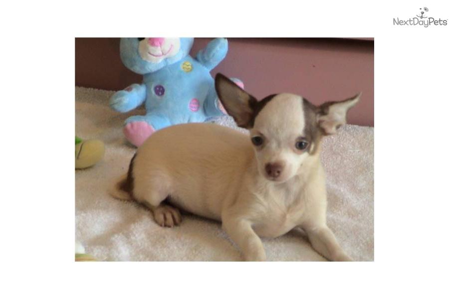 Meet Zorro a cute Chihuahua puppy for sale for $400. AKC ...