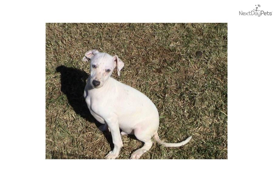 Meet Lady Boy A Cute Italian Greyhound Puppy For Sale For