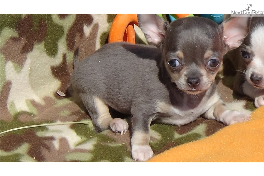 chihuahua puppies for sale in sc calico girl chihuahua puppy for sale near greenville 5184
