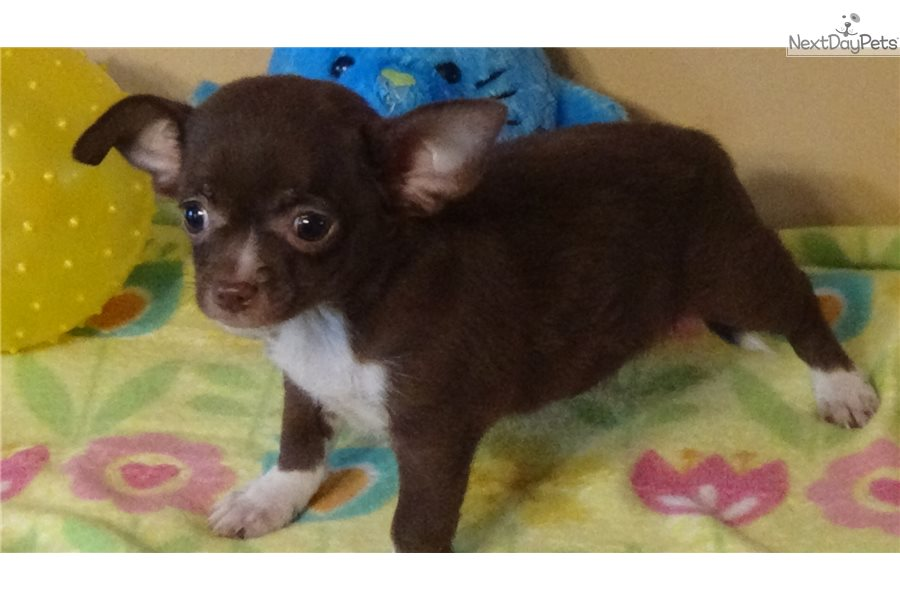 Chihuahuas for sale in greenville sc