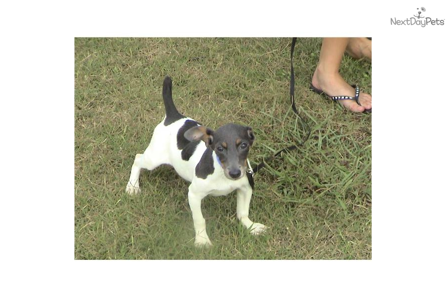 rat terrier price rat terrier puppy for sale near charlotte north carolina d5ff5670 2db1 3908