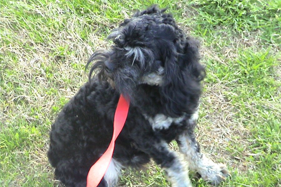 Cockapoo puppy for sale near Greenville / Upstate, South ...
