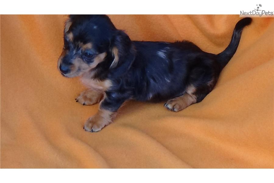 Shabam: Dachshund, Mini puppy for sale near Greenville / Upstate