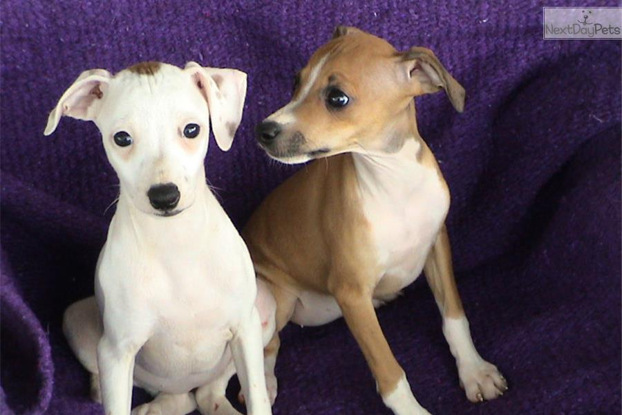 Akc Female Ig Puppies Italian Greyhound Puppy For Sale
