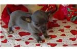 Picture of Blue Male Chihuahua Puppy