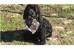 Picture of CKC Black Male Cockapoo Puppy