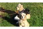 Picture of AKC Male Cocker Spaniel Puppies