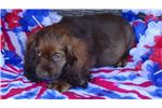 Picture of AKC Sable Female Cocker Spaniel Puppy