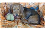 Picture of AKC Red Wire Mini dachshund
