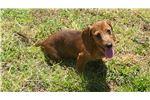 Picture of AKC Red Wire Female Mini dachshund Puppy