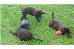 Picture of Chocolate Lab Puppies, AKC