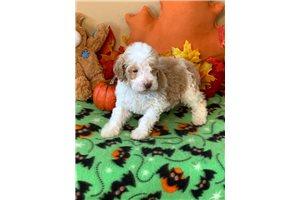 Standard Poodles for sale