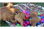 Picture of AKC Vizsla Puppies