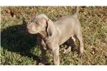Picture of a Weimaraner Puppy