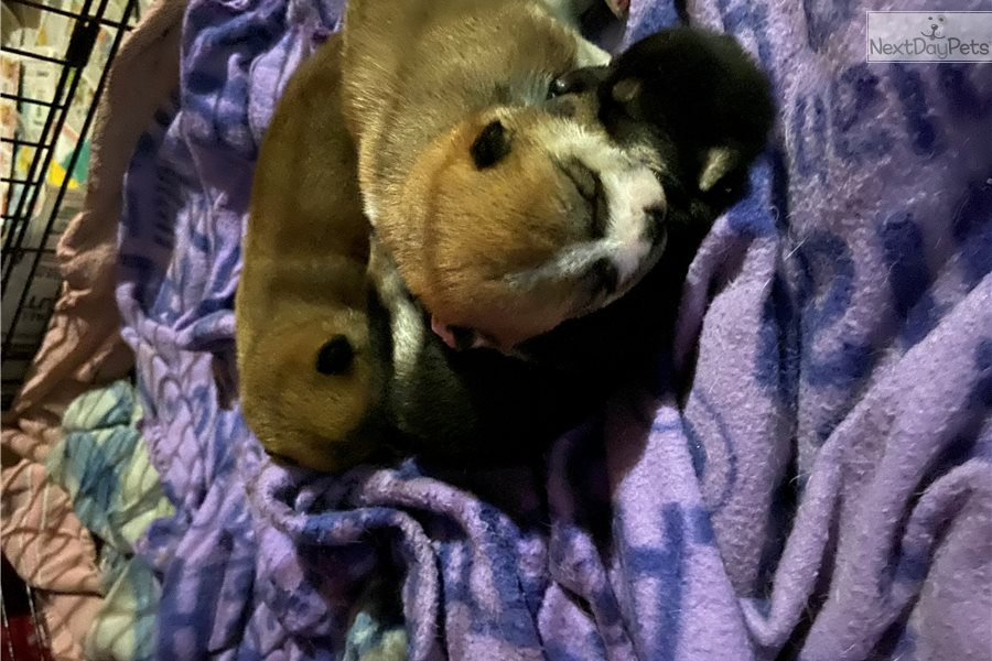 Shiba Inu Puppy For Sale Near Knoxville Tennessee 573fa60c 31b1
